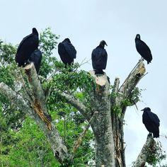 Hoy se quedan con las ganas... de aquí pienso salir andando!!  #everglades #evergladesnationalpark #buitres #iphone7plus #alligator #florida #usa #businesstrip
