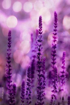 violet ~ lavande