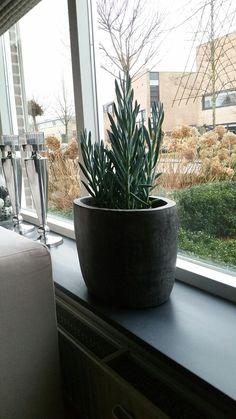 En nog een nieuw plantje op de vensterbank