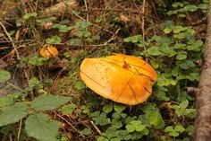 Weeping Bolete or slippery Jack. The differences.