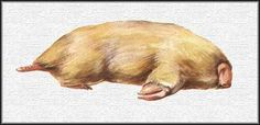Northern marsupial mole (Notoryctes caurinus)   ENDANGERED   This marsupial mole is more closely related to the kangaroo than it is to true moles.