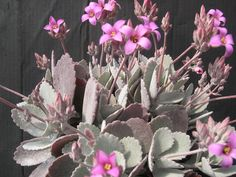 Kalanchoe pumila  - Not sure but look like.