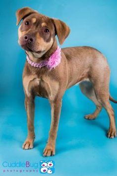 4 / 9 ***BABY ALERT*** Petango.com – Meet Nina, a 8 months 20 days Terrier, American Pit Bull / Retriever, Labrador available for adoption in IRVING, TX Contact Information Address 4140 Valley View Lane, IRVING, TX, 75038 Phone (972) 721-7788 Website http://www.dfwhumane.com Email sarah@dfwhumane.com