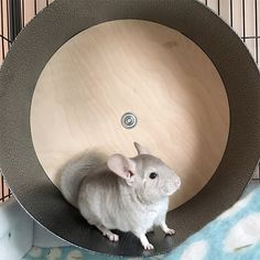 Chin spin chinchilla wheel. A great way for a chinchilla to exercise in their cage.
