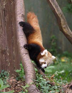 Red panda baby! EEEEEEEEEEEE! so cute!