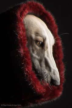 Greyhound Photographer: Paul Croes