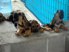 Super Cute Bloodhound Puppies Singing - YouTube