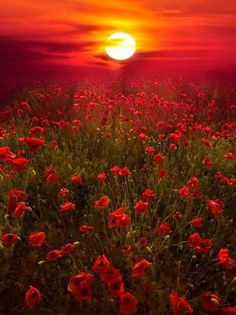 pavots coucher de soleils