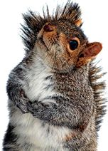 Debugging Squirrels -While parasites plaguing squirrels may  make us cringe, keep in mind they are the very same infecting our dogs and cats, and we manage to handle their care just fine. Many treatments available for pets are safe for squirrels.  A good rule of thumb is: if its safe for pet rodents, its safe for squirrels.