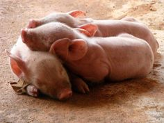 three little piggys in a pile.