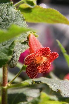 kohleria 'longwood' by Allegro con brio, via Flickr Saintpaulia, Cool Plants, Pansies, Amazing Gardens, Garden Plants, Beautiful Flowers, Butterflies, African, Fantasy
