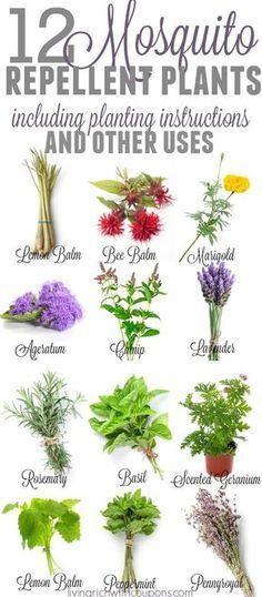Mosquito Repellent Plants | Plants that repel bugs | Bug Repelling Plants | Container Plants| Mosquito Repelling Plants