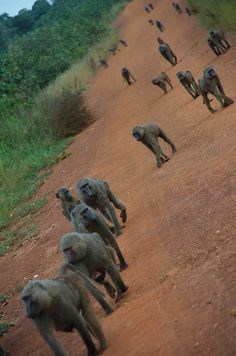 Baboons on a morning walk in Ghana. we would see this every day on the way to school.  walking side by side with a Baboon