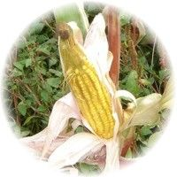 Corn Silk (Zea Mays) Tea for Urinary Tract Infections