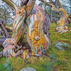 scottleggo'Twisted Beauty'. I photographed these snow gums during a four day hike in Kosciuszko National Park while visiting some of Australia's highest peaks