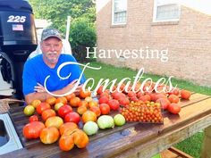 HD How To Grow Tomatoes Using My Permanent Tomato Cage - YouTube