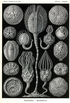 Items similar to Cystoidea Cystoids Echinoderms Sea Life Ernst Haeckel Illustration Archival Quality Print Art Forms In Nature Kunst-Formen der Natur on Etsy Geometric Patterns, Architecture Biologique, Graphic Design Print, Graphic Art, Poster Prints, Framed Prints, Art Prints, Posters, Poster Poster