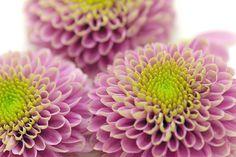 ponpon mam, ポンポン菊 Beautiful Flower Arrangements, Beautiful Flowers, Chrysanthemum, Flower Power, Eye Candy, Bloom, Plants, Gardening, Colors