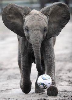 Baby Elephants Plays Soccer
