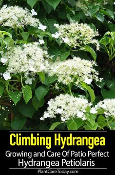 Butterfly Garden Design Climbing Hydrangeas (Hydrangea petiolaris) a woody, vine species characterized by dark bark, slow growth rate for the first few years. Climbing Hydrangea, Hydrangea Care, Climbing Vines, Growing Hydrangea, Hydrangeas, Hydrangea Petiolaris, Potager Garden, Garden Landscaping, Flower Landscape