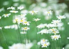 Картинки по запросу полевые цветы