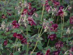 Brunnäva, Geranium phaeum, utvecklas fint till och med där det är skuggigt och torrt. Sorten 'Samobor' har särskilt vackert bladverk. Geranium Phaeum, Lavender Garden, Spring Blooms, Plants, Purple, Google, Inspiration, Gardens, Sun