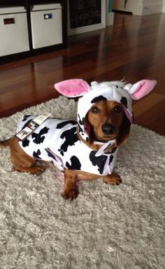 It's a dog but a cow. TOO MUCH!!!!!!!!!!
