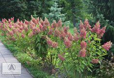 Hydrangea paniculata 'Pinky Winky' ® PBR - Hortensja bukietowa 'Pinky Winky' - Szkółki Kurowscy