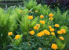Trollius and ferns