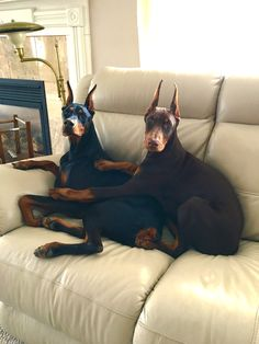 Sophie N Sarge .partners in crime ! Taking a break from stealing anything the. Sophie N Sarge .partners in crime ! Taking a break from stealing anything they can.pillows boots blankets clothes e. Big Dogs, Cute Dogs, Dogs And Puppies, Doggies, Animals And Pets, Funny Animals, Cute Animals, Doberman Pinscher Dog, Sweet Dogs