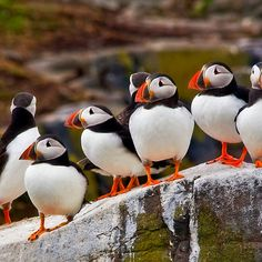 A 'gathering' of Puffins...that's what a group of Puffins is called.