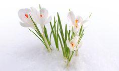 Çiğdem, çiçek, çuha çiçeği, çiçek tomurcukları, kar, Bahar vektör