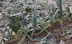 Ganzjährig gut: Porree -  Das heimische Gemüse hat rund ums Jahr Saison, denn dem robusten Winterlauch können Frost und Kälte nichts anhaben. Und wer früh im Jahr aussät, kann fast ohne Unterbrechung weiterernten
