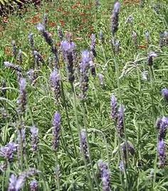 Growing lavender ( Mix lavender shrubs in with other drought tolerant herbs like rosemary and sage to enjoy their fragrance mixture on hot summer nights.)