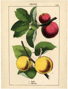 Vintage Botanical Fruit Download - Apples and Apricot - The Graphics Fairy