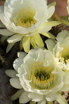 PHP_1129 Cactus Flower www.phawkinsphoto.com Peter Hawkins©2014