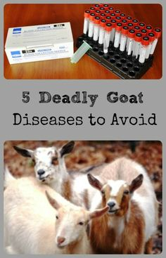 Goat Diseases to Avoid - see how to prevent them in your herd