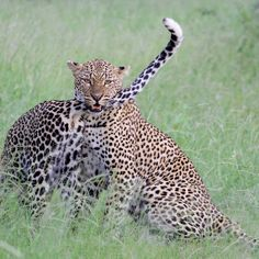 Leopards by Isabel Display Advertising, Print Advertising, Marketing And Advertising, Kruger National Park, National Parks, Leopard Cub, Retail Merchandising, Leopards, Us Images