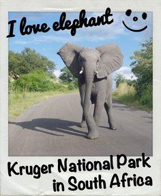 Elephant in Kruger National Park, South Africa.