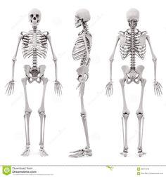 скелет человека 3d Иллюстрация штока - изображение: 66511219
