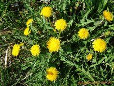 Taraxacum Officinale, Plants, Paleo, Beach Wrap, Plant, Planets, Paleo Food