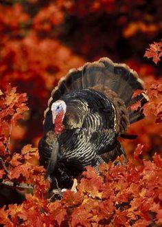 Fall Wild Turkey Hunting Tips Turkey Time, Tom Turkey, Turkey Call, Turkey Legs, Wild Turkey, Turkey Hunting, Tier Fotos, Mundo Animal, Fall Harvest