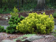 'Winter gold' mugo pine really stands out in the winter garden. Garden Trees, Lawn And Garden, Mugo Pine, Painting The Roses Red, Mean Green, Trees And Shrubs, Front Yard Landscaping, Small Gardens, Winter Garden