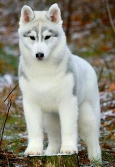 Wonderful All About The Siberian Husky Ideas. Prodigious All About The Siberian Husky Ideas. Cute Husky Puppies, Puppy Husky, Huskies Puppies, White Husky Puppy, Teacup Puppies, Pomeranian Puppy, All White Husky, Funny Dogs, Cutest Animals