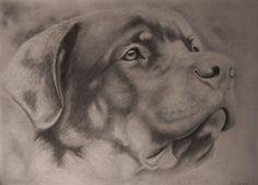 Rottweiller, pencil drawing, retrato perro a lápiz