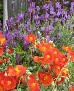 Helianthemum Henfield Brilliant Sun Rose (drought tolerant)