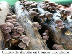 Cómo cultivar setas shiitake en casa ecoagricultor.com