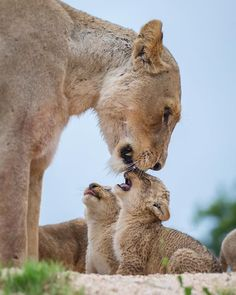 A Lioness Tending to Her New Babies.