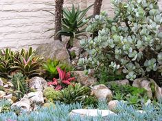 Beautiful+Succulent+Garden | Cotyledon orbiculata (maybe) on the right, an aloe in back, bromeliads ...
