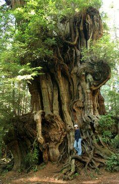 Big Cedar Tree, (tiny girl) Olympic National Park by woodleywonderworks Le Baobab, Weird Trees, Cedar Trees, Old Trees, Unique Trees, Big Tree, Tree Forest, Belleza Natural, Tree Of Life